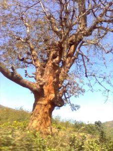 gnarled-tree