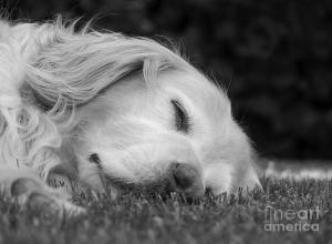 golden-retriever-dog-sweet-dreams-black-and-white-jennie-marie-schell